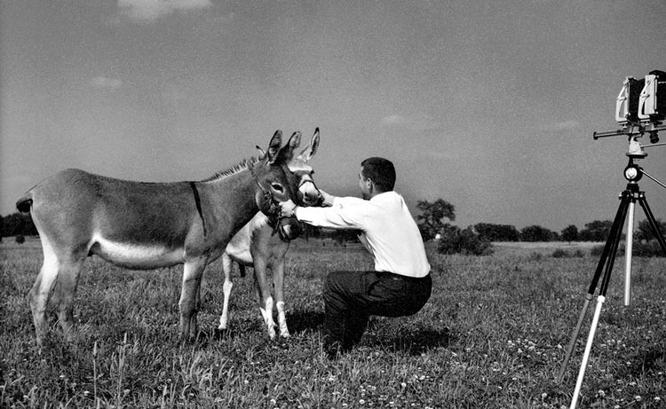 Tom Bochsler setting up photograph with 2 donkeys